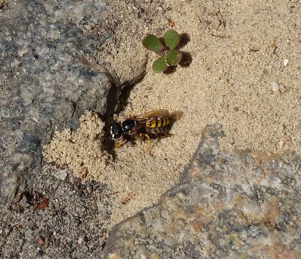 Der Bienenwolf <em>Philantus triangulum</em> bringt seine Beute heim.<br />Bild: Melanie von Orlow
