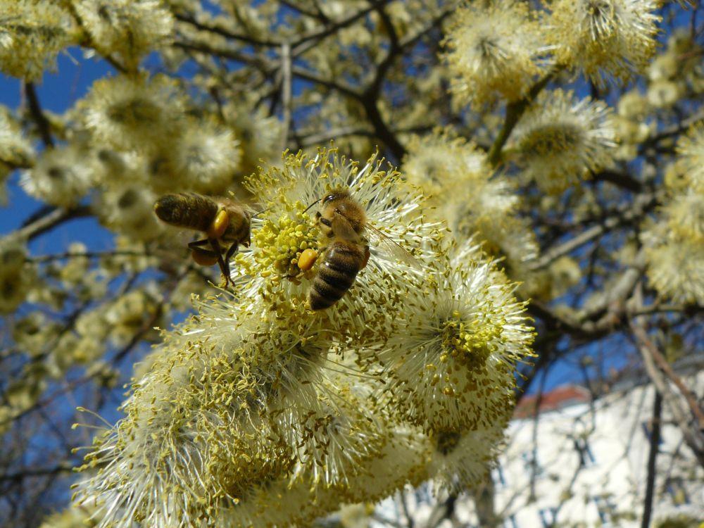 Bienenbesuch an den Weiden am Arkonaplatz
