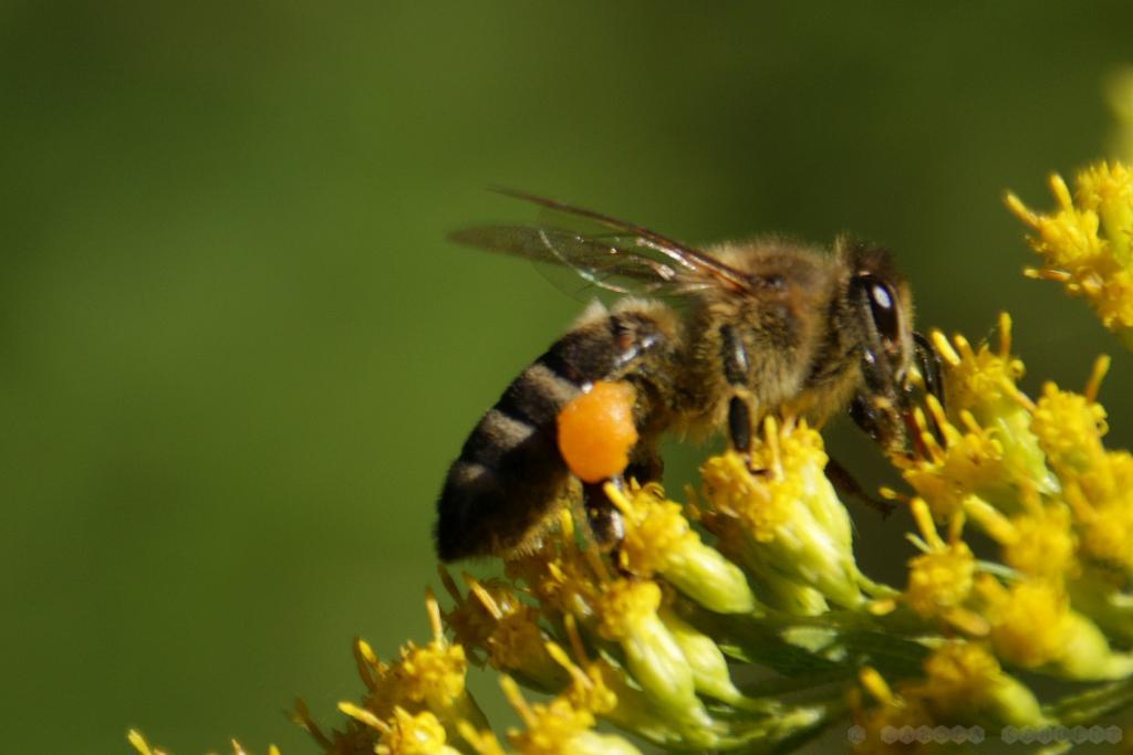 Biene an Kanadischer Goldrute