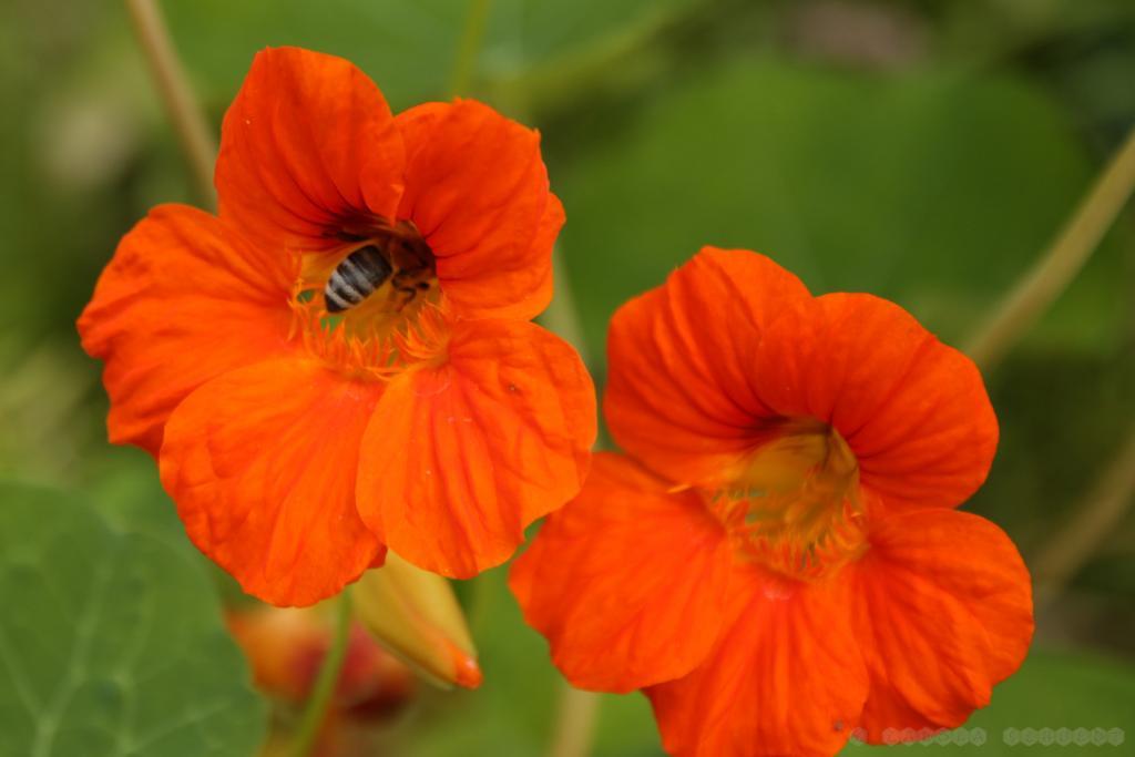 Beweis: Bienen fliegen auch Kapuzinerkresse an