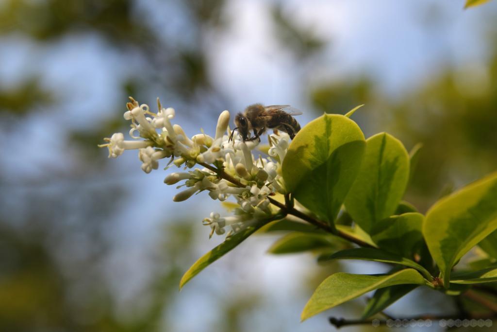 Biene am Liguster