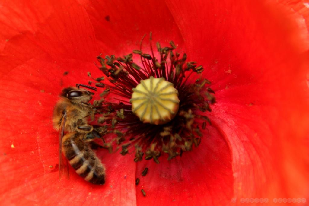 ... und sammelt schwarzen Pollen