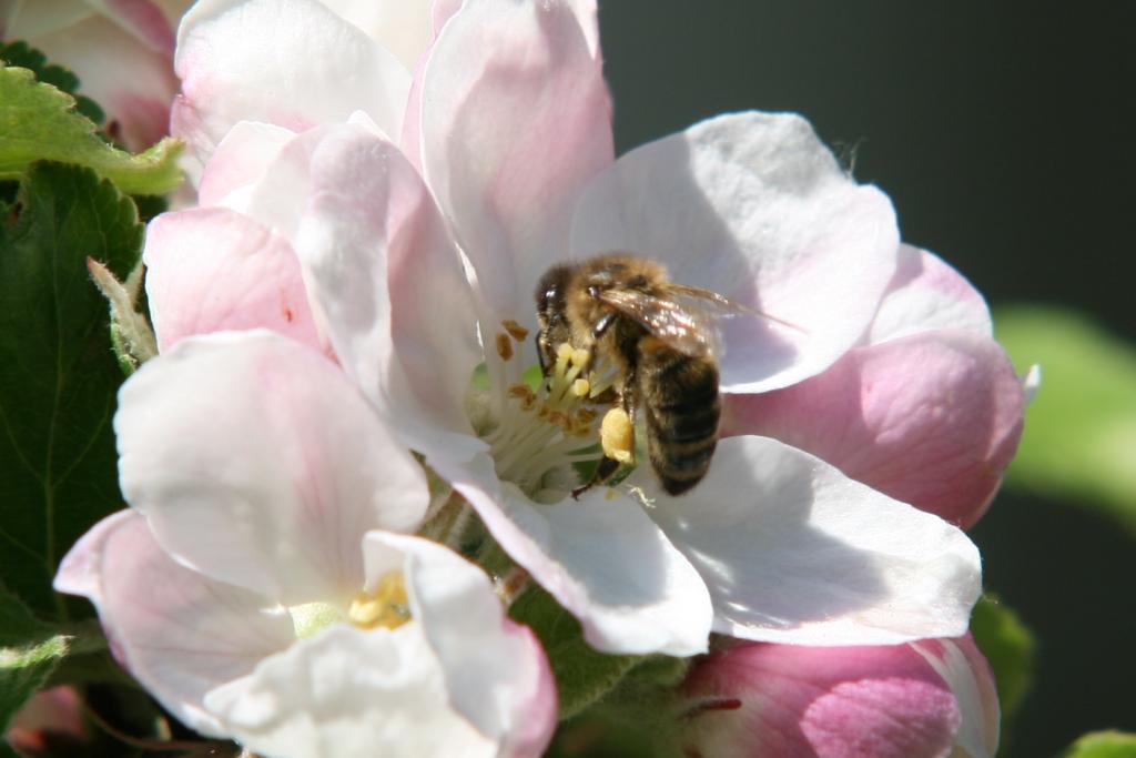 Biene an Apfelblüte - hier die Sorte James Grieve, sie soll viel Pollen haben