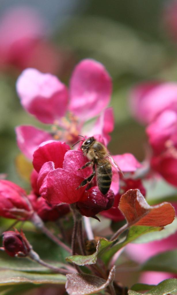 Biene am Zierapfel - die Blüten sind ähnlich, aber die Früchte so groß wie kleine Blaubeeren
