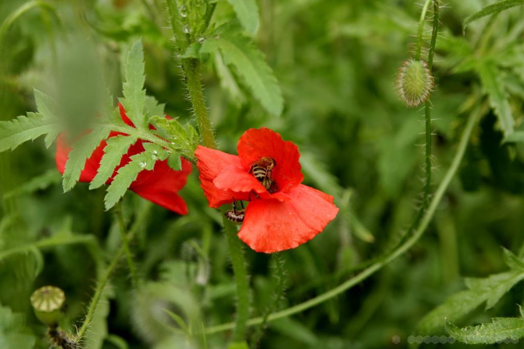 Bienen im Mohn