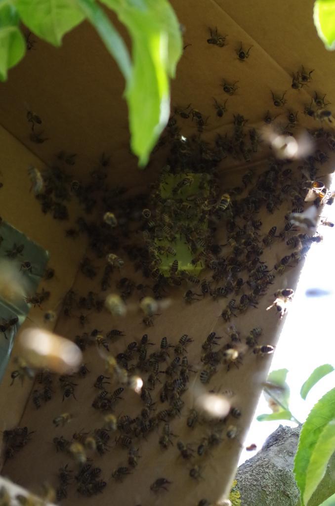 Um den Rest des desorientierten Bienen zu fangen, wird eine gekäfigte Königin in einem Karton aufgehangen.