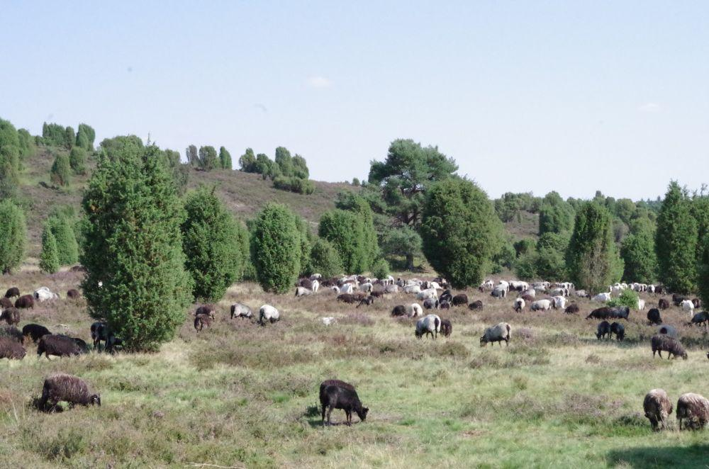 Heidschnucken fressen nur die jungen Spitzen der Heide, verhindern das Vergreisen der Pflanzen und fördern das flächige Ausbreiten.