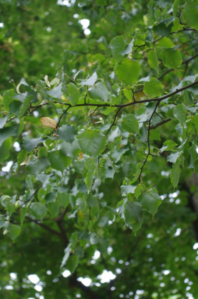 """Die """"Holländische Linde"""" ist eine Kreuzung aus Sommer- und Winterlinde und bietet ebenso viel Nektar - sofern sie ausreichend Wasser hat. Die Sommer-Linde hat größere Blätter als die Winter-Linde und letztere hat gelbliche Haarbüschel in den Aderachseln auf der Blattunterseite."""