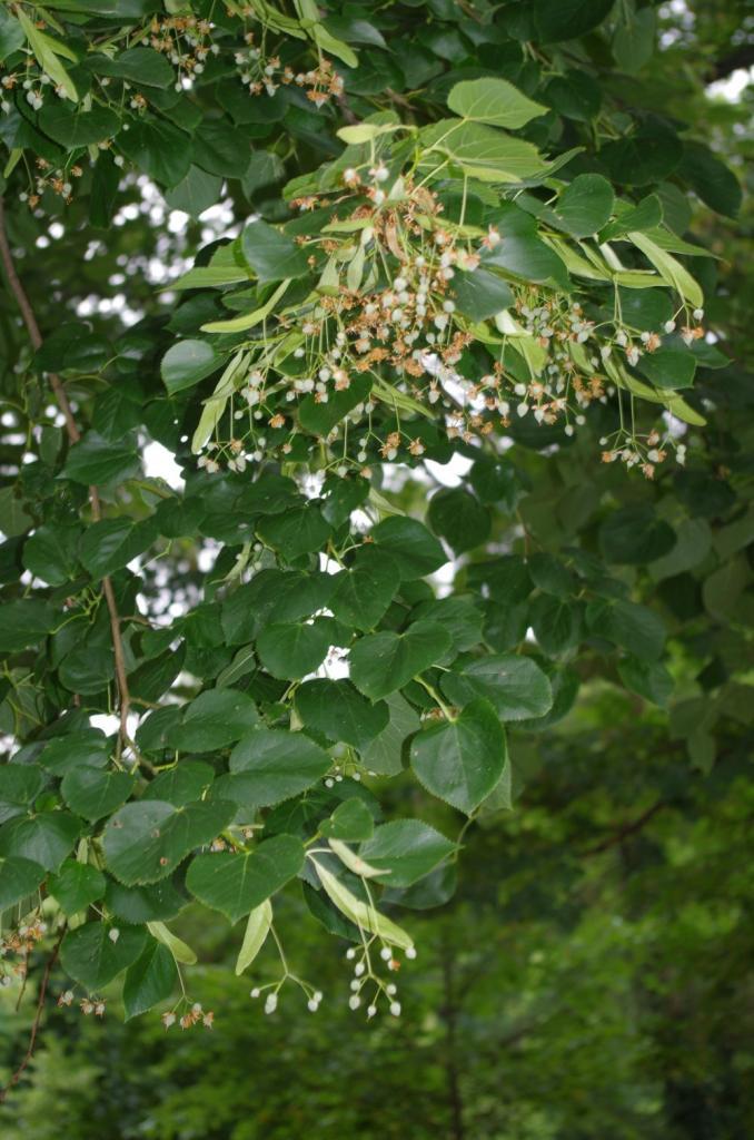 Die Krim-Linde ist eine reiche Nektarquelle, die sich - bei mäßigen Temperaturen unter 30°C - in der Blüte direkt an die Blütezeit der Winterlinde anschliesst. Sie hat dunkelgrüne Blattoberseiten und rundlichere Blätter.