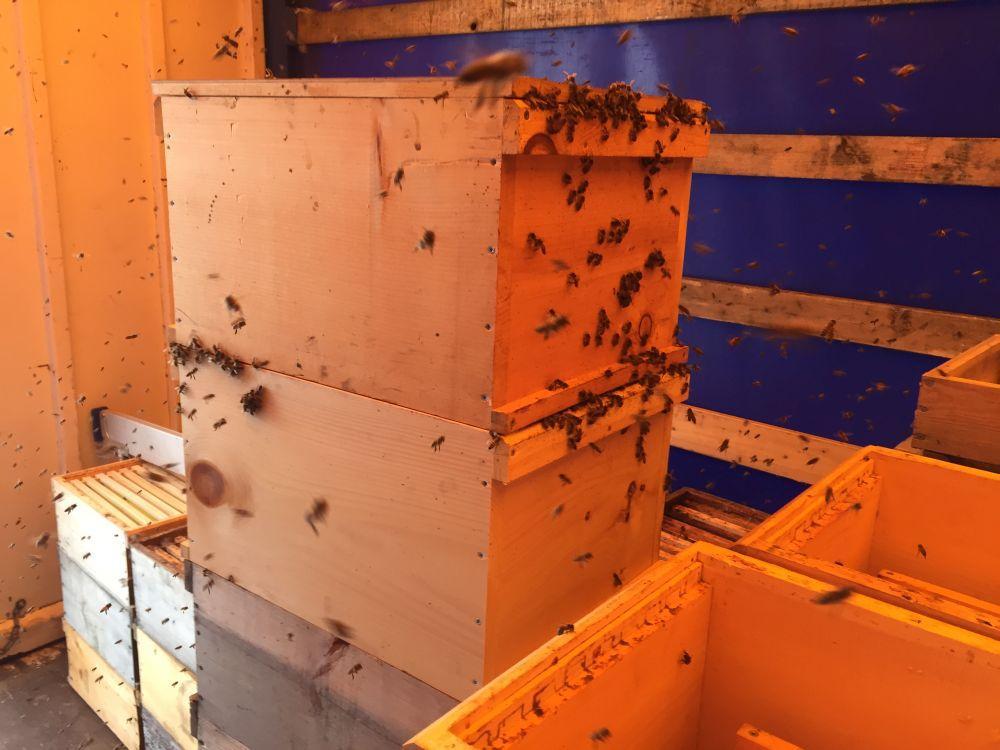 Da kommen die noch honigfeuchten Waben gerade recht und werden aus großer Entfernung gefunden...und blitzschnell wird Verstärkung rekrutiert um den Schatz zu bergen.