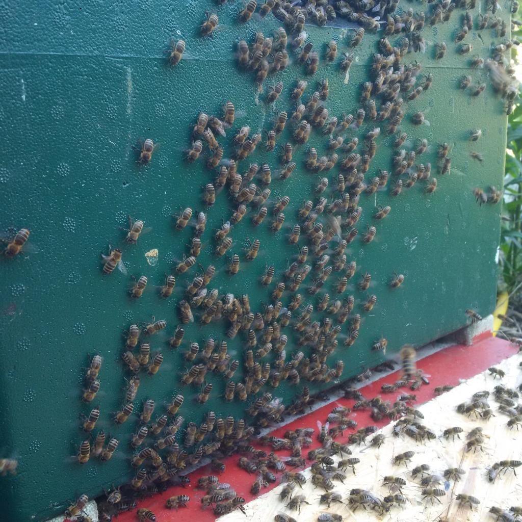 Sie werben eifrig und die aufgeflogenen Bienen werden angelockt.