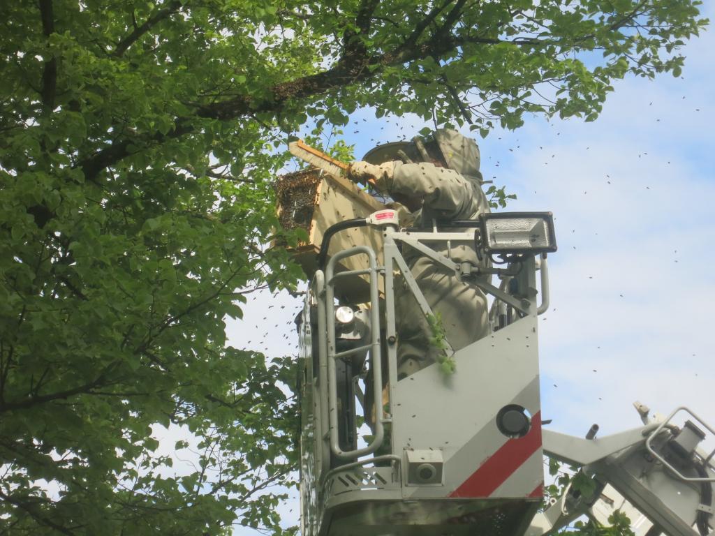 Schwarmfang mit Hilfe der Berliner Feuerwehr aus einem Straßenbaum auf Höhe des 3. Stocks (Bild: M. Kallenbach)