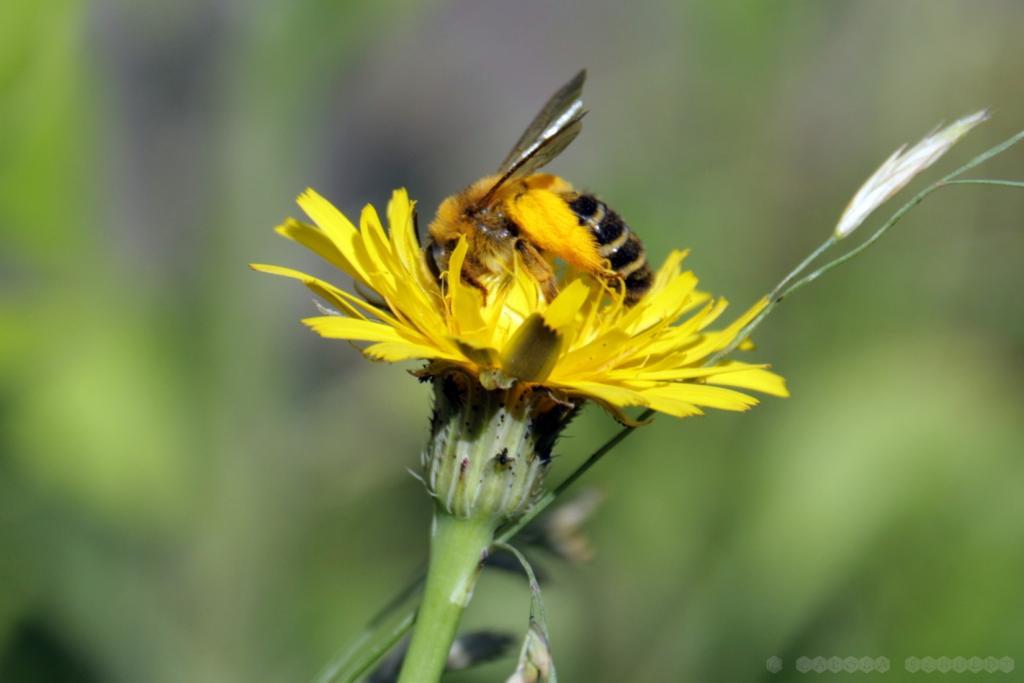 Wildbiene (Hosenbiene?) am Wiesenpippau