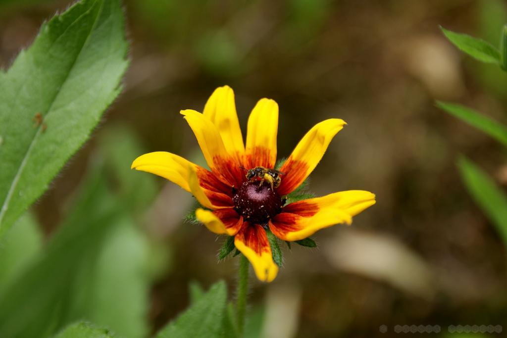 Wildbiene mit dicken Pollenhöschen am Prächtigen Sonnenhut