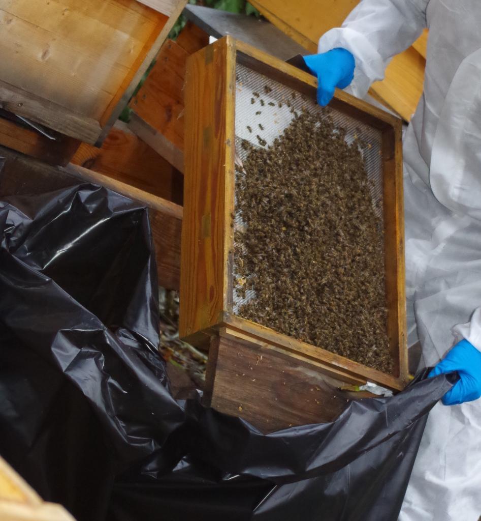 Die Bodenbretter mit tausenden toten Bienen werden hinterher gekippt.